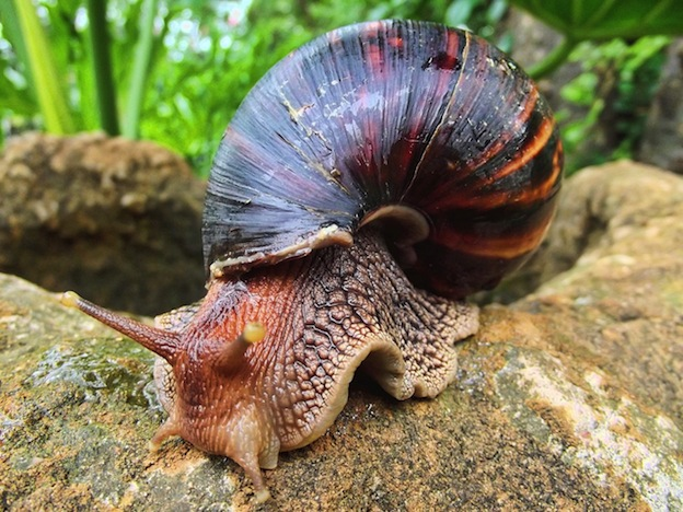Giant African Land Snail - family Achatinidae