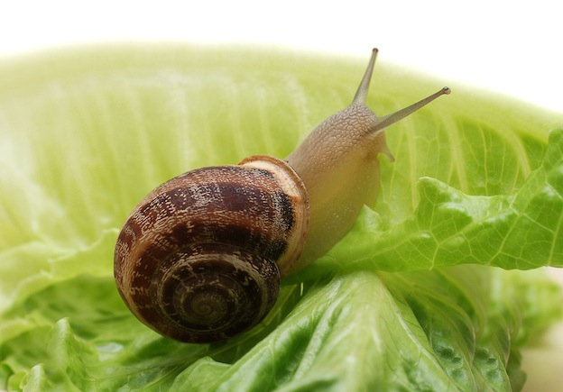 Helix aspersa Facts