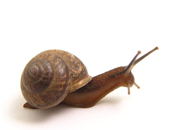 Snail with its Eyes Up