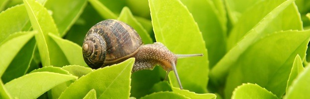 Garden Snail , Snail Facts and Information