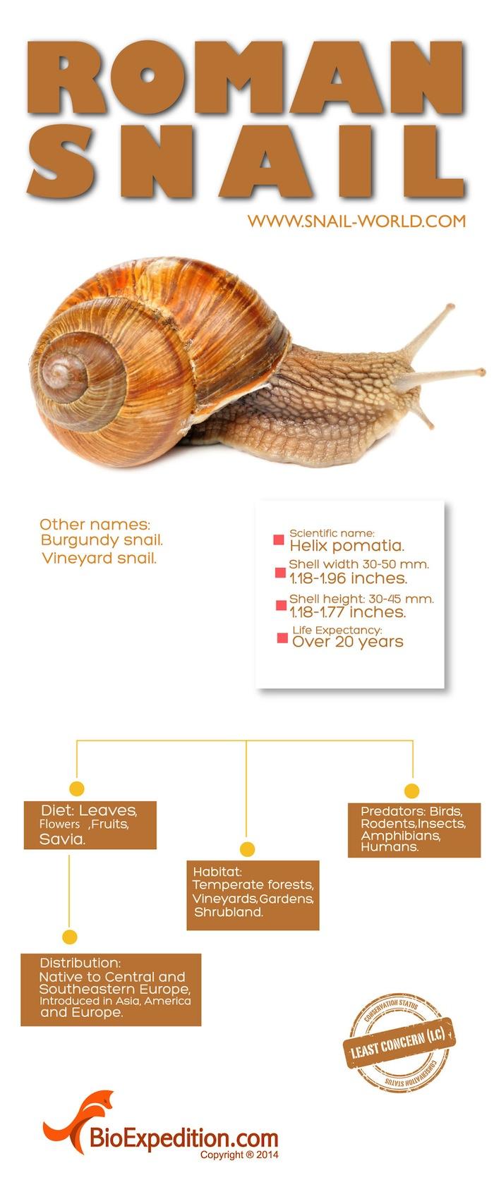roman_snail 1700