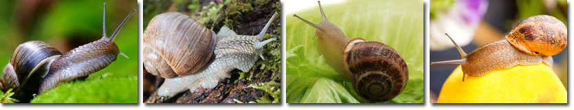 Snail information