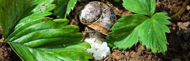 How do Snails Reproduce?